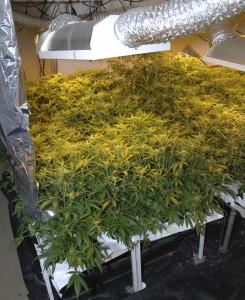 growing marijuana in your rental property