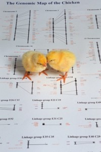 chicken-genome-map